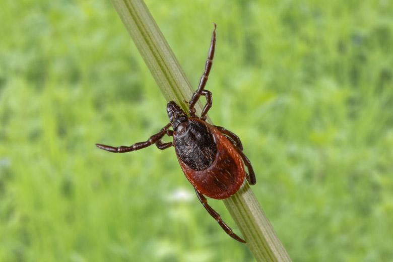 Een teek lijkt nog het meest op een klein spinnetje en leeft op verschillende niveaus in de begroeiing.