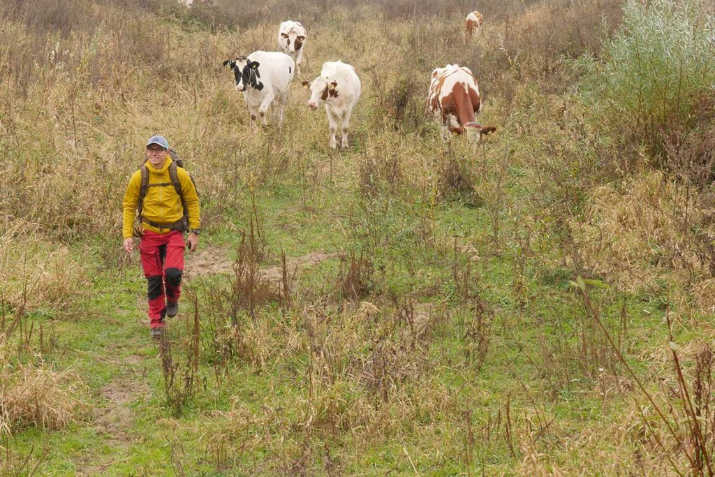 Walking with the Mudmaster... the cows have an interest too.